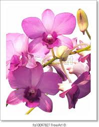 Dendrobium Orchid Free Art Print Of Pink Purple Dendrobium Orchid Flower On White