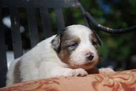 australian shepherd eye diseases view ad miniature australian shepherd puppy for sale connecticut
