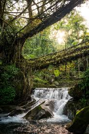 nongriat and the living root bridges of meghalaya rubber tree