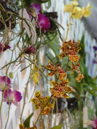 orchids for sale orchids for sale photo