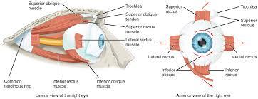 Anatomy Of The Eye Special Senses U2013 Anatomy Of The Eye Oer Commons