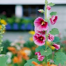 hollyhock flowers hollyhock