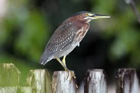 new yard bird green heron u2013 benweb 3 2