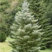 evergreen trees for small gardens and patios ornamental trees ltd