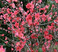 Japanese Flowers Pictures - plant monday u2013 japanese dwarf flowering quince chaenomeles