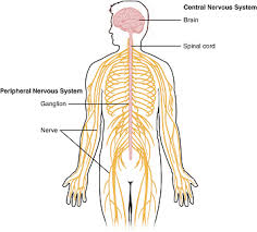 Anatomy And Physiology Nervous System Study Guide Physiological Processes Of The Nervous System Study Com