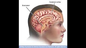 The Anatomy Of The Human Brain John Rigg The Effect Of Trauma On The Brain And How It Affects