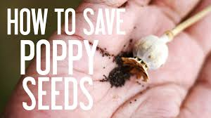 seed collection of australian native plants how to save poppy seeds youtube