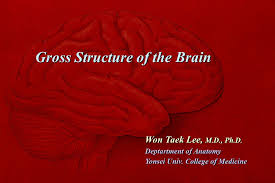Gross Brain Anatomy Gross Structure Of The Brain Ppt Download