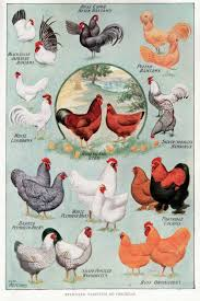 chicken breeds chart with the homestead laboratory book review