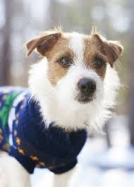 haircut ideas for long hair jack russell dogs rough coat jack russell terrier they are such characters