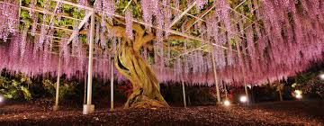 144 year old wisteria tree at the ashikaga flower park in japan