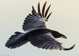 best 25 jackdaw ideas on pinterest group of crows pics of