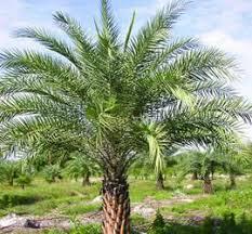 sylvester date palm tree sylvester date palm trees port palm tree nursery