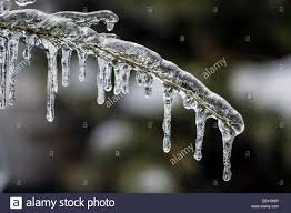 icicles hanging from covered frozen cedar tree branch in