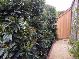 screen u0026 hedge shrubs true north landscape design
