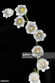 Lily Of The Valley Flower Lily Of The Valley Stock Photos And Pictures Getty Images