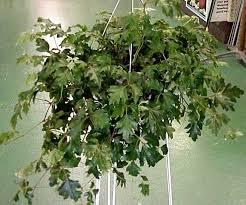 green acres grape ivy