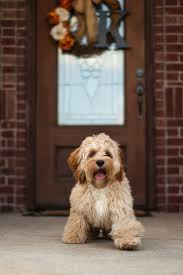 Do Cockapoo Dogs Shed A Lot by 154 Best Mans Best Friend Images On Pinterest Cockapoo
