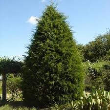 eastern cedar tree for sale fast growing trees