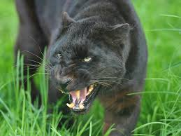 wallpaper panther face big cat predator hd picture image