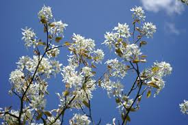 tree with white flowers flowering trees in virginia a guide for