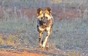 safari ltd african wild dog african wild dogs spotted phantoms