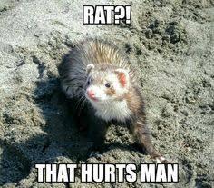 Ferret Meme - introducing the funny ferret new meme ferrets pinterest