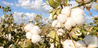 cotton flowers cotton farmers profit from simple steps to help pollinators