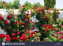 photo collection red roses garden