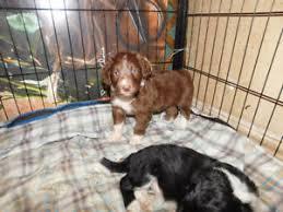 affenpinscher ottawa adopt local dogs u0026 puppies in ottawa pets kijiji classifieds
