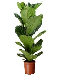 plants flowers fiddle leaf fig