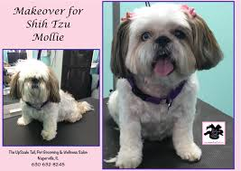 shih tzu mollie is groomed at the upscale tail pet grooming and