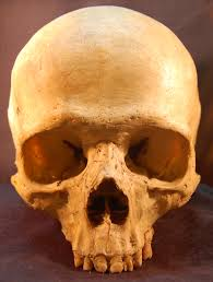 Skull Viewer File Skull Human Jpg Wikimedia Commons
