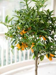 native victorian plants how to plant citrus trees lemon u0026 orange tree growing guide