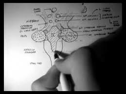 Brain Stem Anatomy Brainstem Anatomy 3 Posterior Aspect Youtube