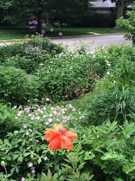 poppies are popular with me u2013 gardeninacity