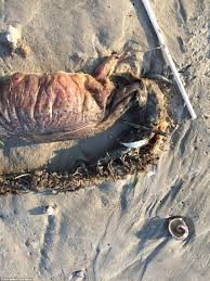 scary sea creature washes up on a texas beach after harvey daily