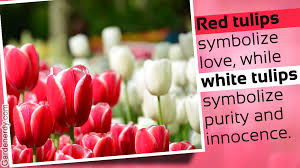 meanings of the different colors of tulips you weren u0027t aware of