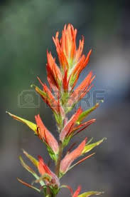 indian paintbrush flower indian paintbrush flower images stock pictures royalty free