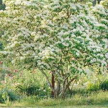 41 best flowering trees gorgeous images on