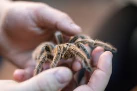 keeping and caring for tarantulas as pets