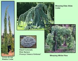 conifers are the of a winter garden far west turf