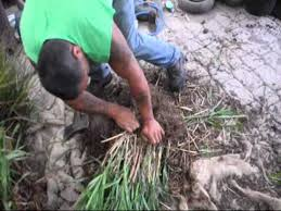 how to propagation of ornamental grasses