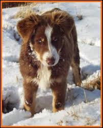 australian shepherd 9 weeks ghost eye mini aussies avail litter 1 pup2 kate black tri male