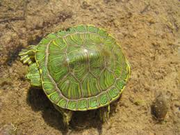 Texas Map Turtle Pictures Of Turtles All Turtles