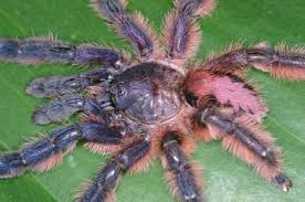 Colorful Tree Climbing Tarantulas Found In Brazil