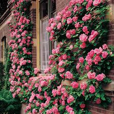 chic climbing rose trellis 25 diy climbing rose trellis climbing