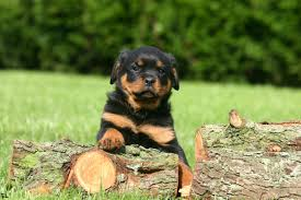 Wallpaper Dogs V 281 Rottweiler Dogs Wallpapers Hd Images Of Rottweiler Dogs