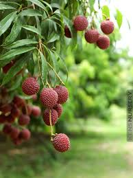delicious lychee fruit tree litchi chinensis kens nursery